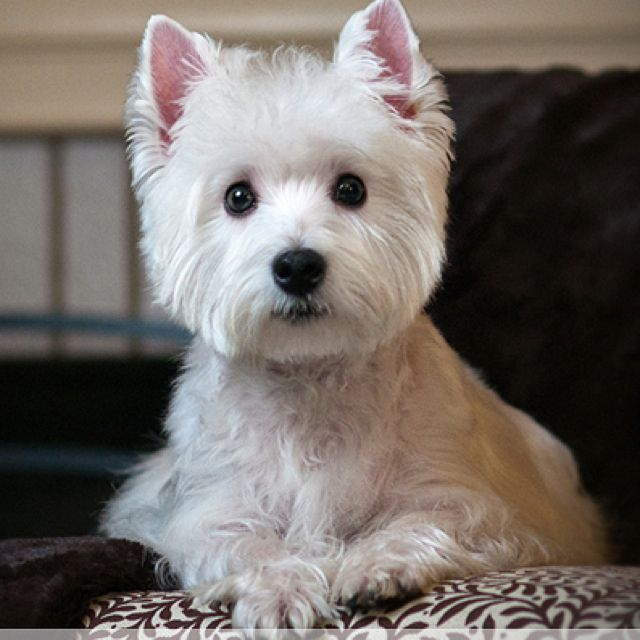 Dog Food With Westie Picture