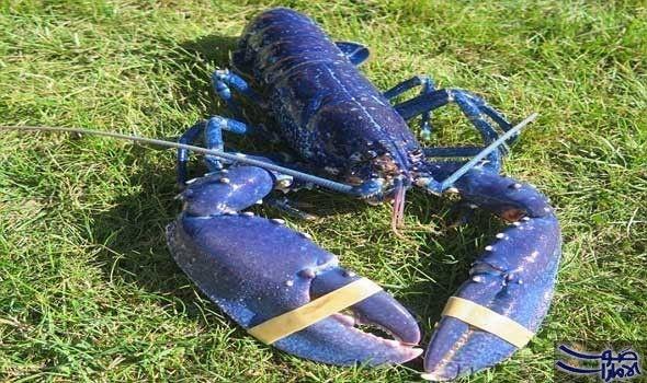 باحثون ي وض حون أن هم اكتشفوا آثار أصابتها بكتيريا عثر الصياد كيث سيتر على سرطان البحر الأزرق نادر الوجود قبالة ساحل ديفون Devon Coast Wind Sock Devon