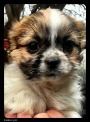 Blaire Is An Adoptable Shih Tzu Dog In Kansas City Mo If You