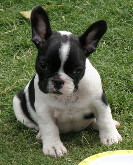 How To Clean A French Bulldog S Ears Signs Of An Infection