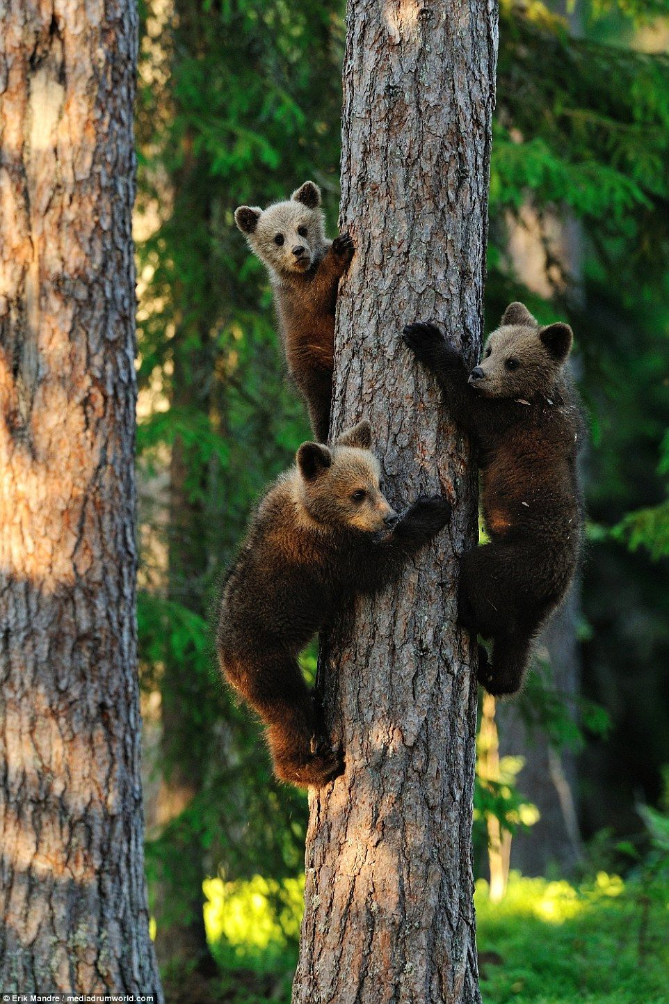 Mummy bear watches as her three adorable bear cubs climb and play #bears