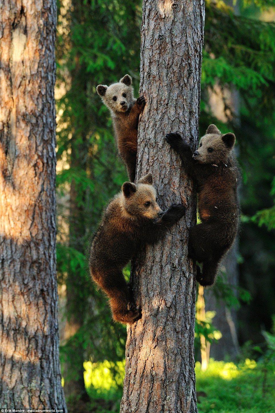 The cute brown bears can be seen scrambling around the trees in North Karelia, Finland, te...