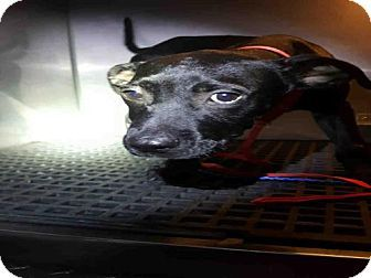 Fort Myers Fl Labrador Retriever Mix Meet Sammy A Puppy For Adoption Http Www Adoptapet Com Pet 18485313 Fort Myers F Kitten Adoption Dog Adoption Pets