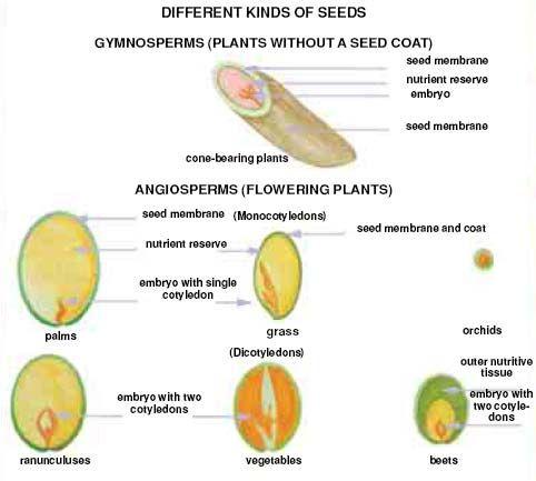 seed anatomy - Google Search | Plant Propagation & Biology ...