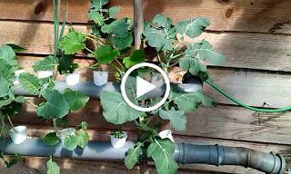 Hidroponia: A minha experiência (videos)