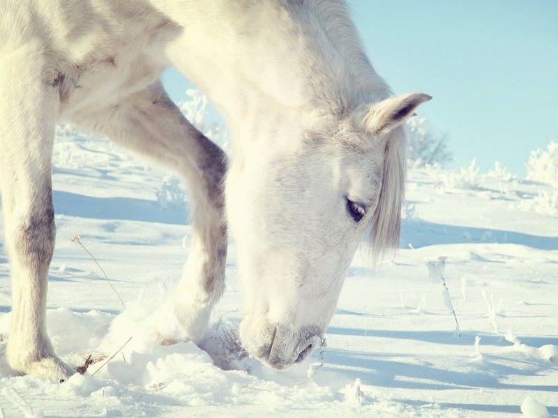 Les Fonds D Ecran Un Cheval Blanc Qui Sent La Neige Chevaux Dans La Neige Animales Jolis Animaux