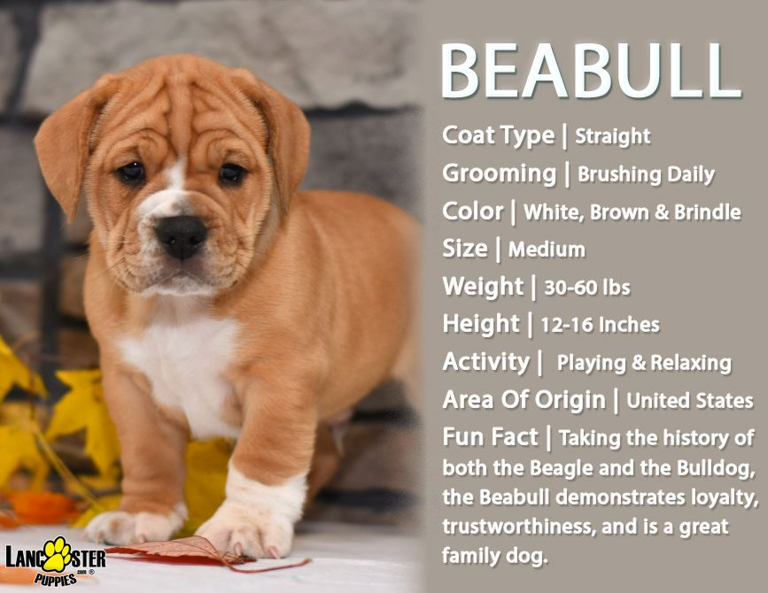 Beabull Puppies For Sale Puppies Puppies For Sale Lancaster