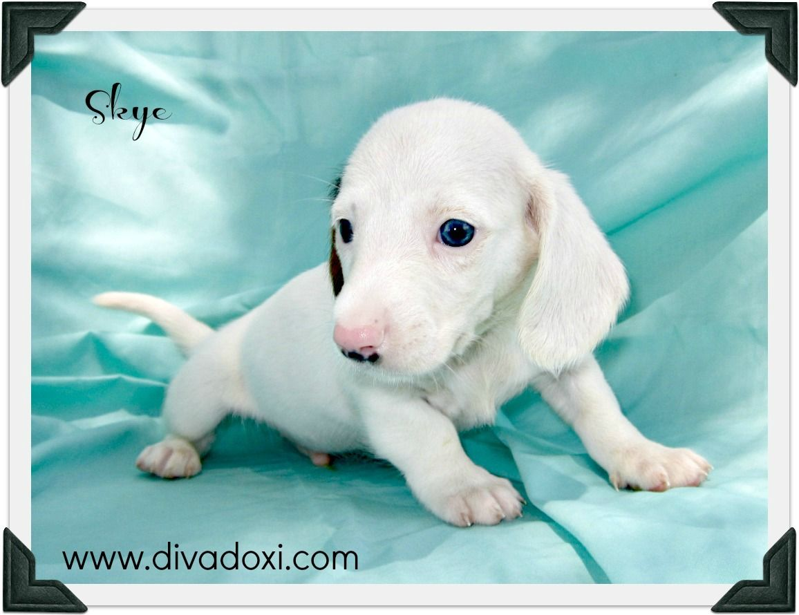 Smooth Coat Blue Tan Extreme Piebald Miniature Dachshund So