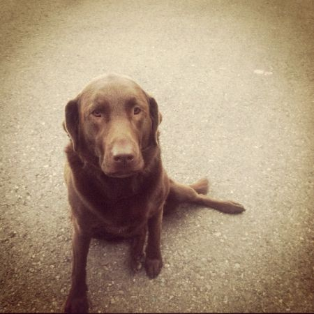 Craigslist Missoula Mt >> She Must Be Removed From Craigslist Chocolate Lab Dog