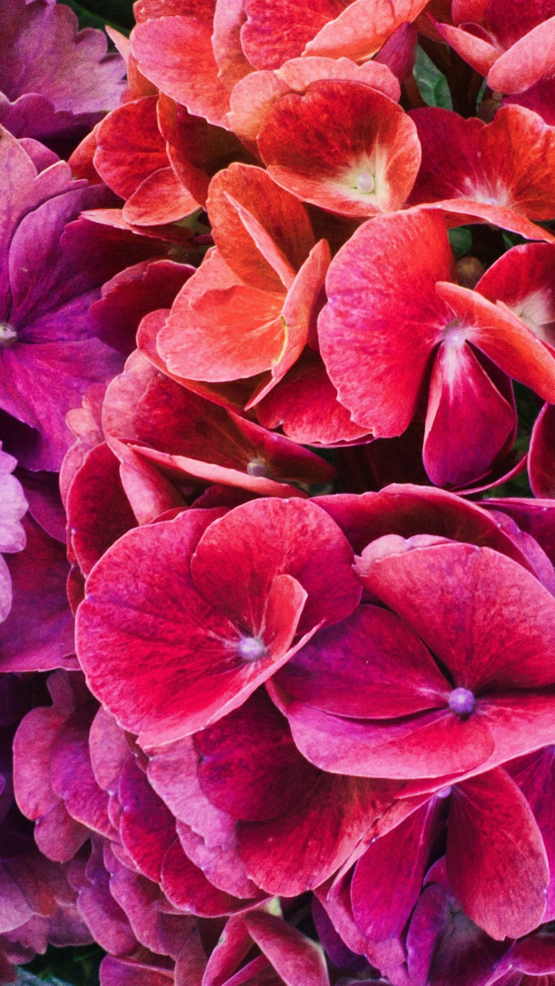 Colorful Flowers Close Up Hydrangeas Wallpaper Hydrangea Wallpaper Flower Close Up Flowers