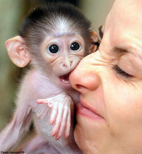pictured: the baby monkey that thinks its mum's a teddy bear