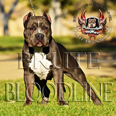 Beautiful Brute Bloodline Bully Pitbull With Heavy Tri Color Gene