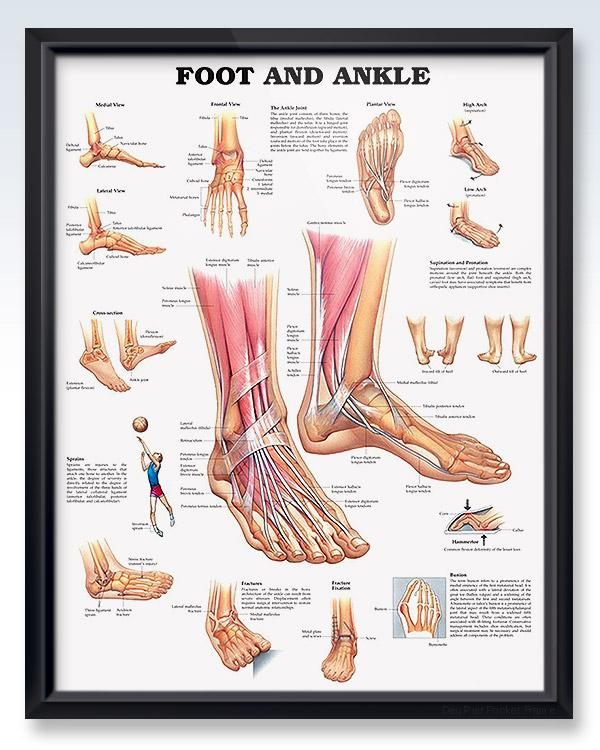 Framed Foot And Ankle Anatomy Poster Ankle Anatomy Muscle Anatomy Foot Anatomy