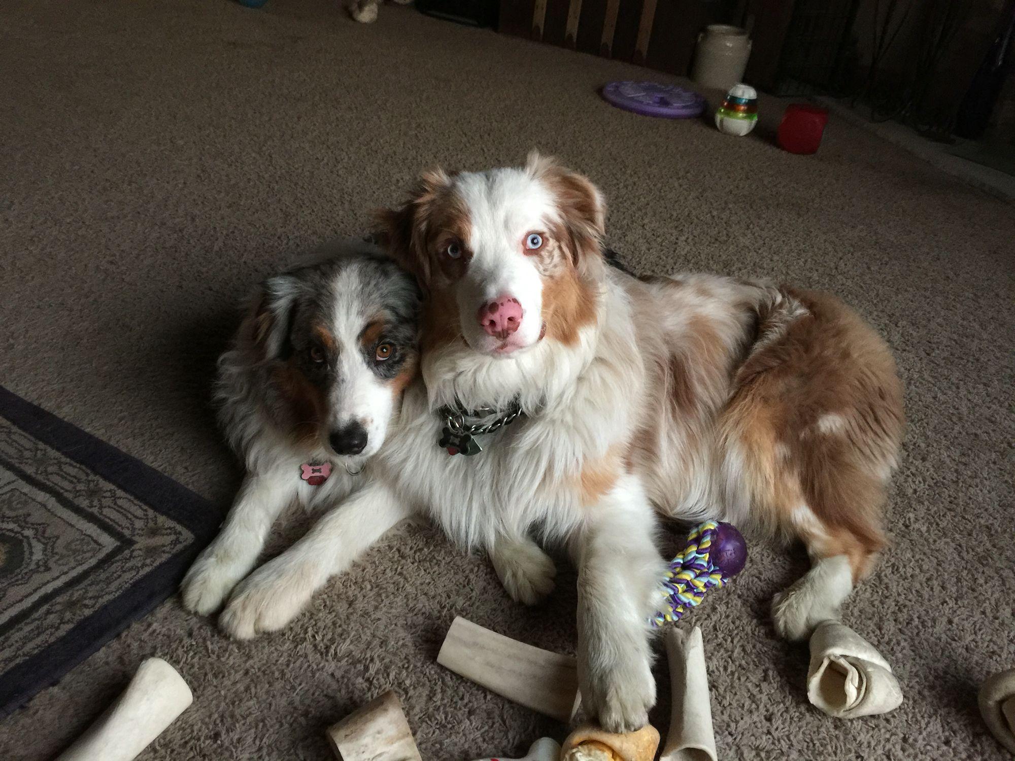 Blue Merle Skylar Rose And Red Merle Diego Step Bro And Sis Hunde Tiere Australien