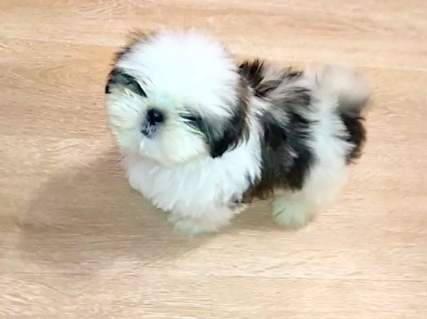 33 Chinese Shih Tzu Dog Names Shih Tzu Dog Shih Tzu