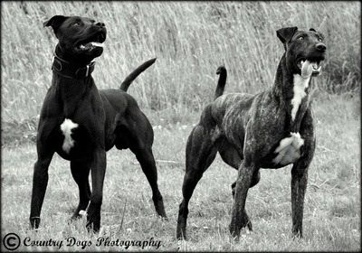 Lurkers Greyhound Pitbull Mix With Images Dogs Pitbull Mix