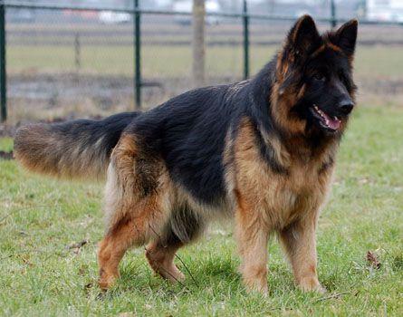 Duitse herder kennel ipo