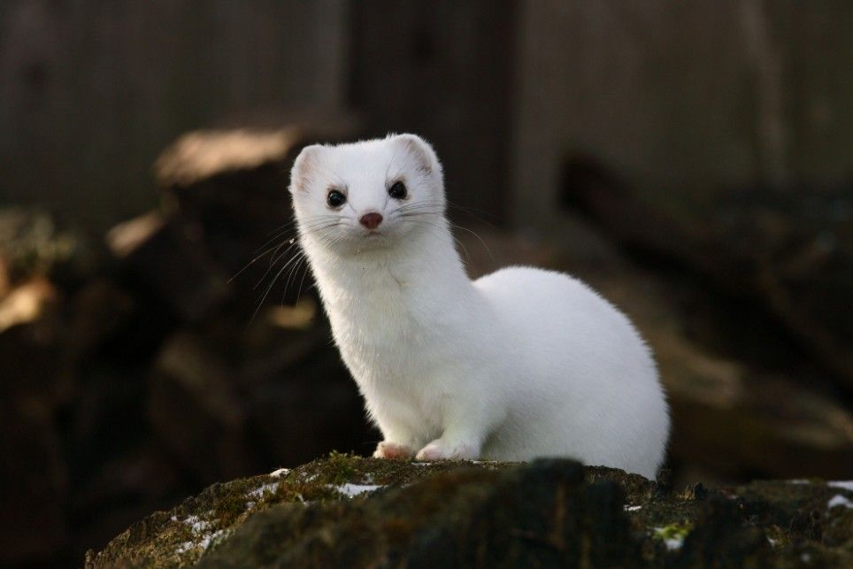 White ermine, also known as the stoat or short-tailed weasel. Comes from the species Mustelidae and is native to Eurasia and North America.