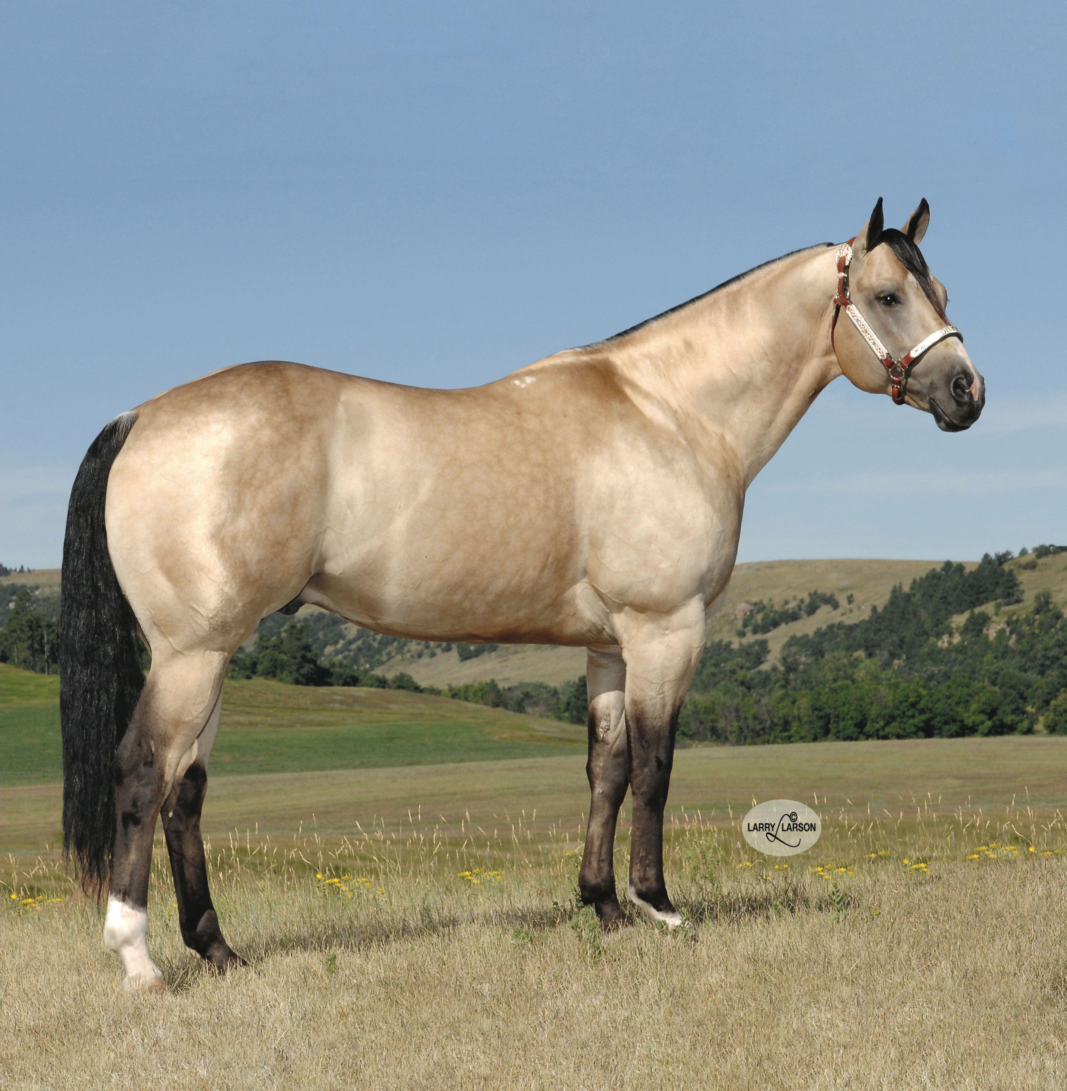 A Smooth Guy Stallion Register Horses Quarter Horse Stallion Buckskin Horse [ 4136 x 4045 Pixel ]