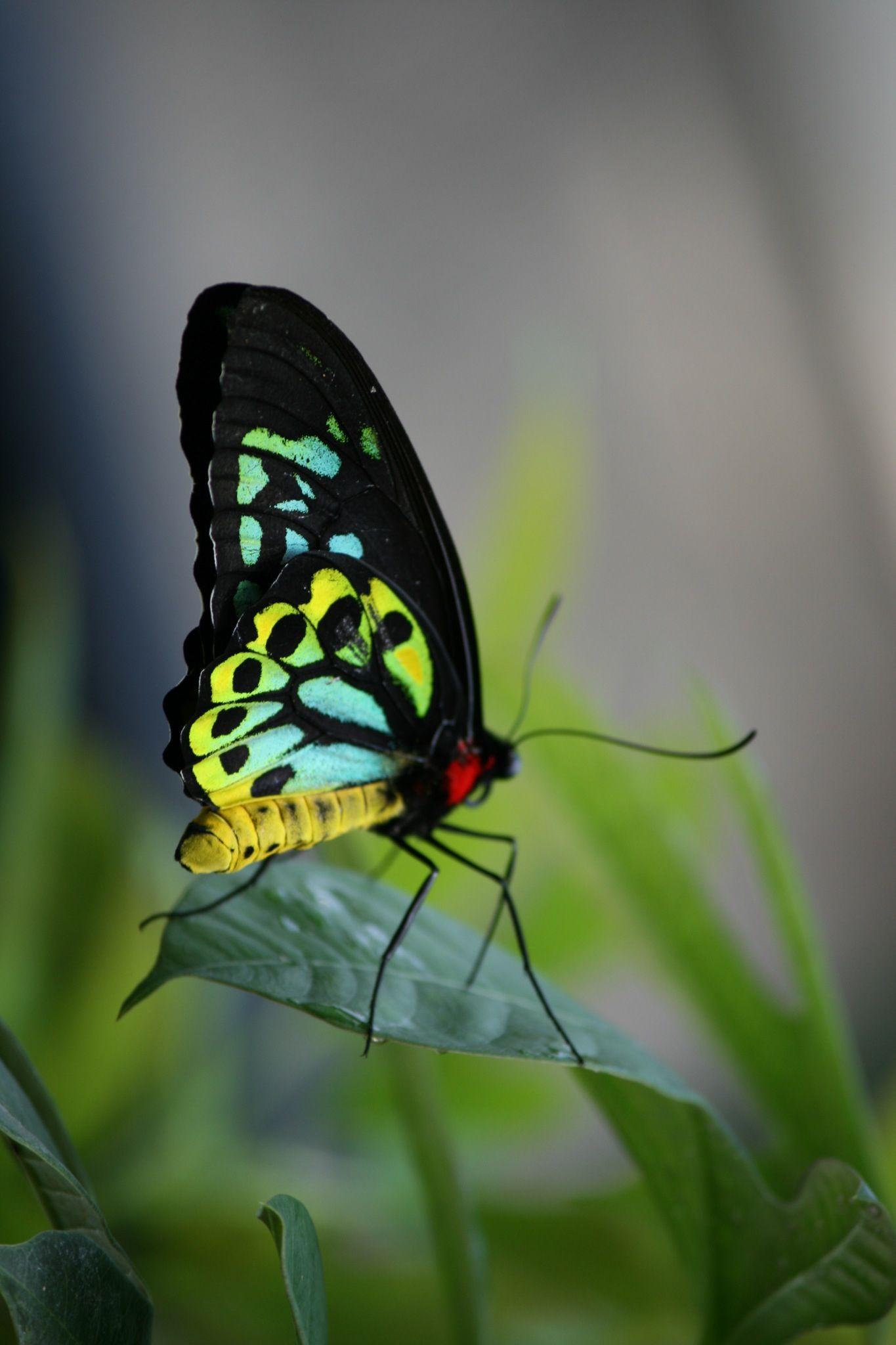 Butterfly Pavilion CO Butterfly pavilion, Grassland