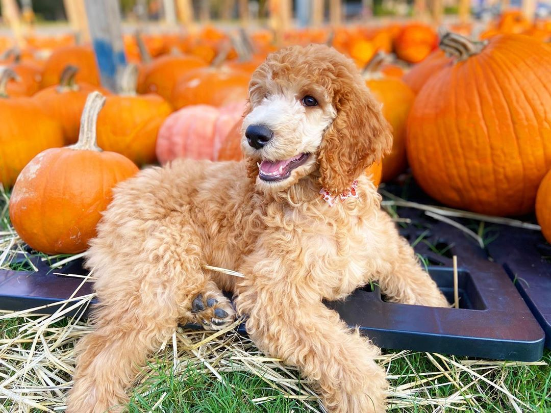 "Meet Louie & Lily🐾 on Instagram: ""Hey pumpkin, Guess who went pumpkin picking for the very 1st time? 🍁🍂🍁 #apricotpoodle #poodlepuppies #poodlepup #poodlepuppy_feature…"""
