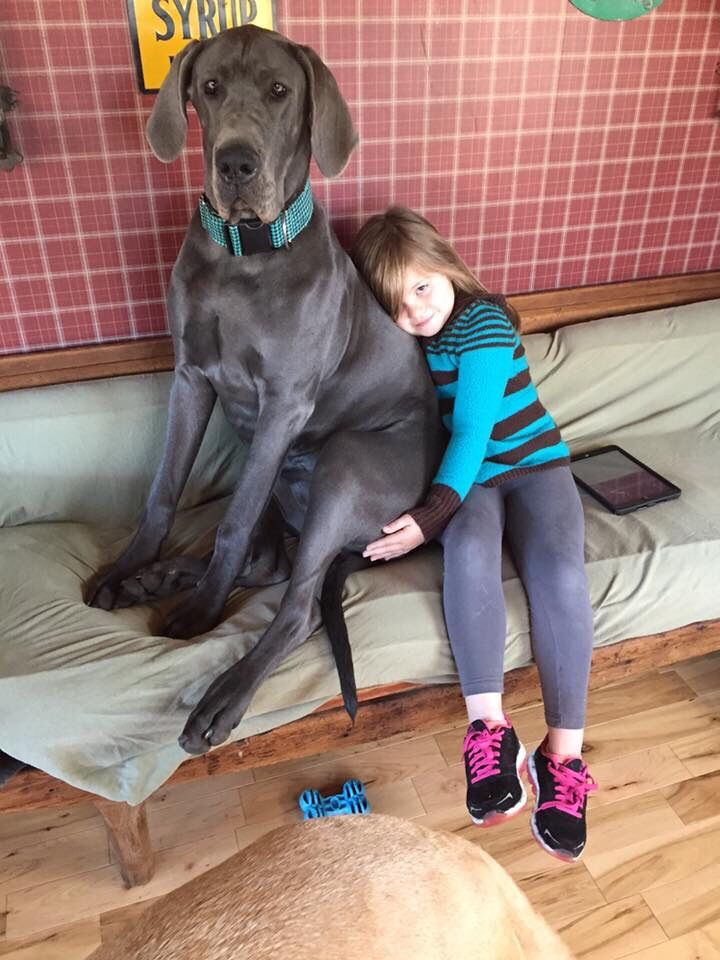 My 7 Year Old Daughter And A 10 Month Old Great Dane Pup Dane