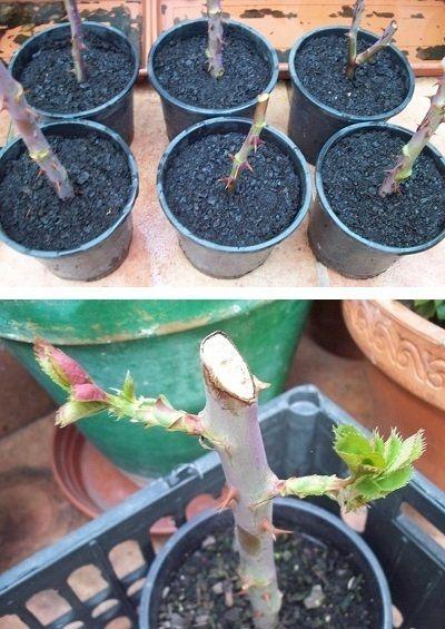 Plantar Esquejes Rosales Plants Garden