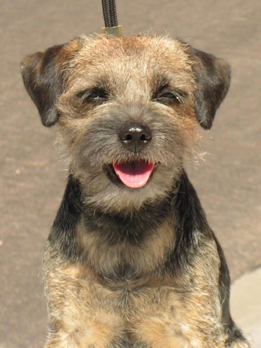 Pin On Border Terrier Care