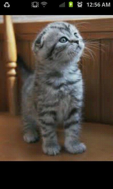 I sooo want one. Scottish Fold. Scottish fold kittens