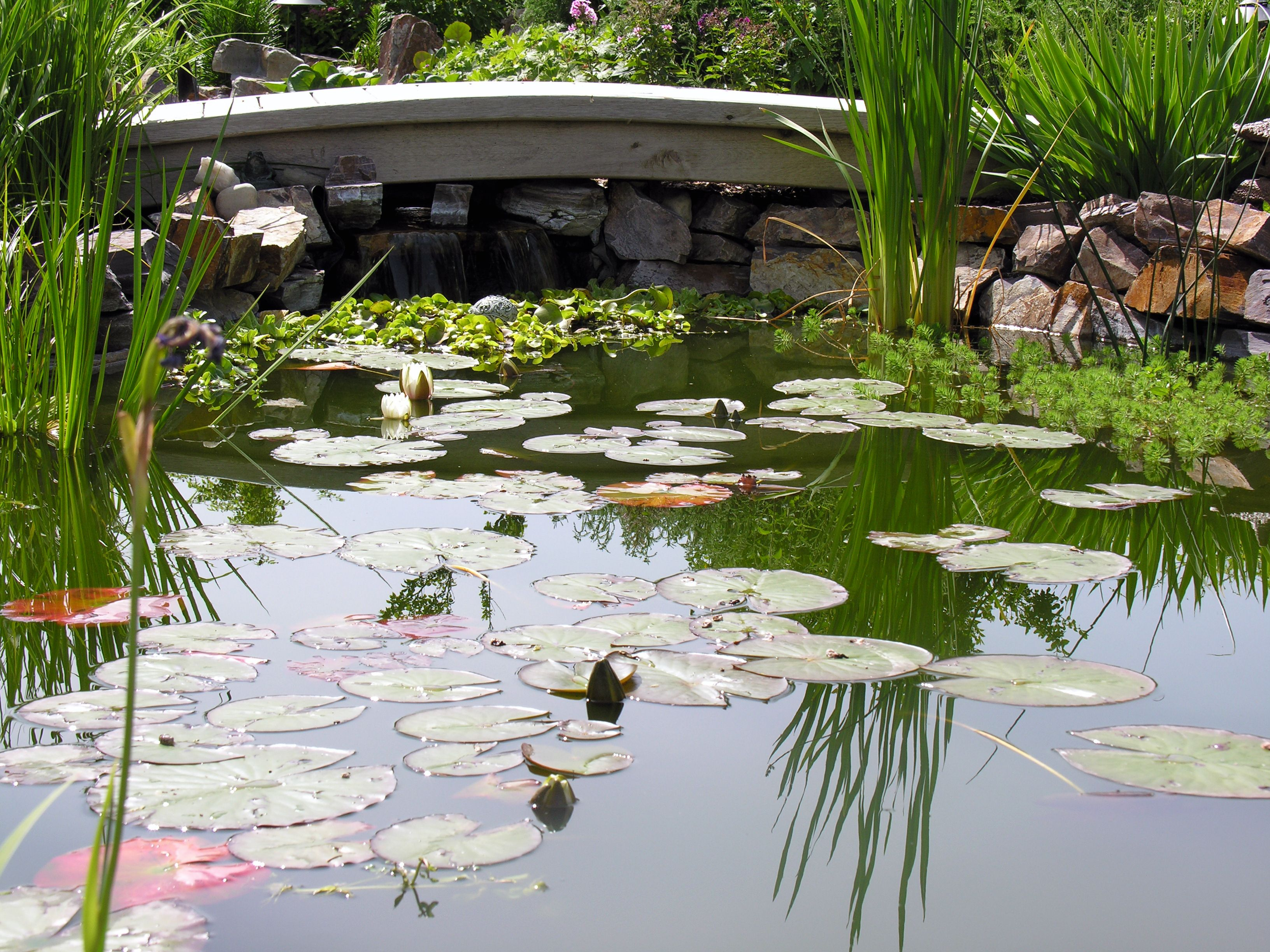 A wooden bridge crosses a koi pond with lily pads. We love this custom landscaping that we created for a client!