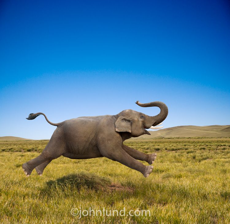 An Elephant Gallops In Joy Across A Grassy Plain In This Funny
