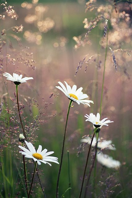 Daisies--my favorite flower.  Not too showy, incredibly sturdy and reliable; good traits in a flower and in a person!