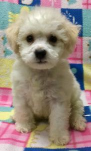 Beautiful Bichon Puppy Winnipeg Manitoba Image 1 Dog
