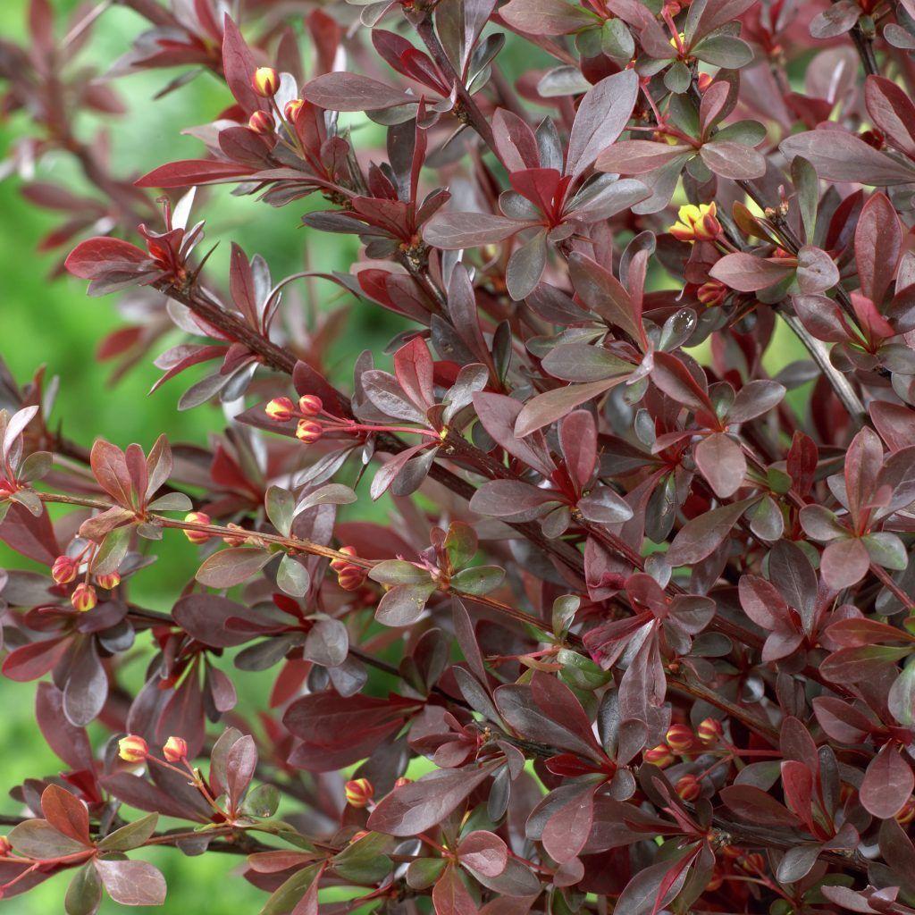 berberis thunbergii f. atropurpurea 'red chief' • pflanzen, Garten und Bauen