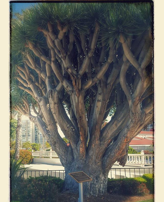 Just a cool tree in Coronado #coronado #sandiego #cooltree #sandiegoconnection #sdlocals #coronadolocals - posted by Amanda Call https://www.instagram.com/aycee20. See more post on Coronado at http://coronadolocals.com