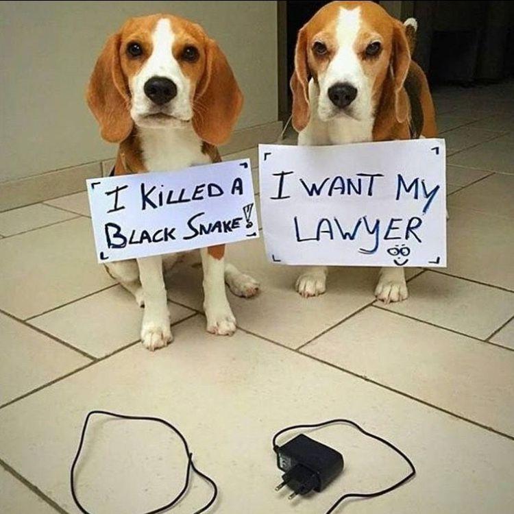 Dog Shame Beagle Style Dog Shaming Funny Animal Shaming Dog