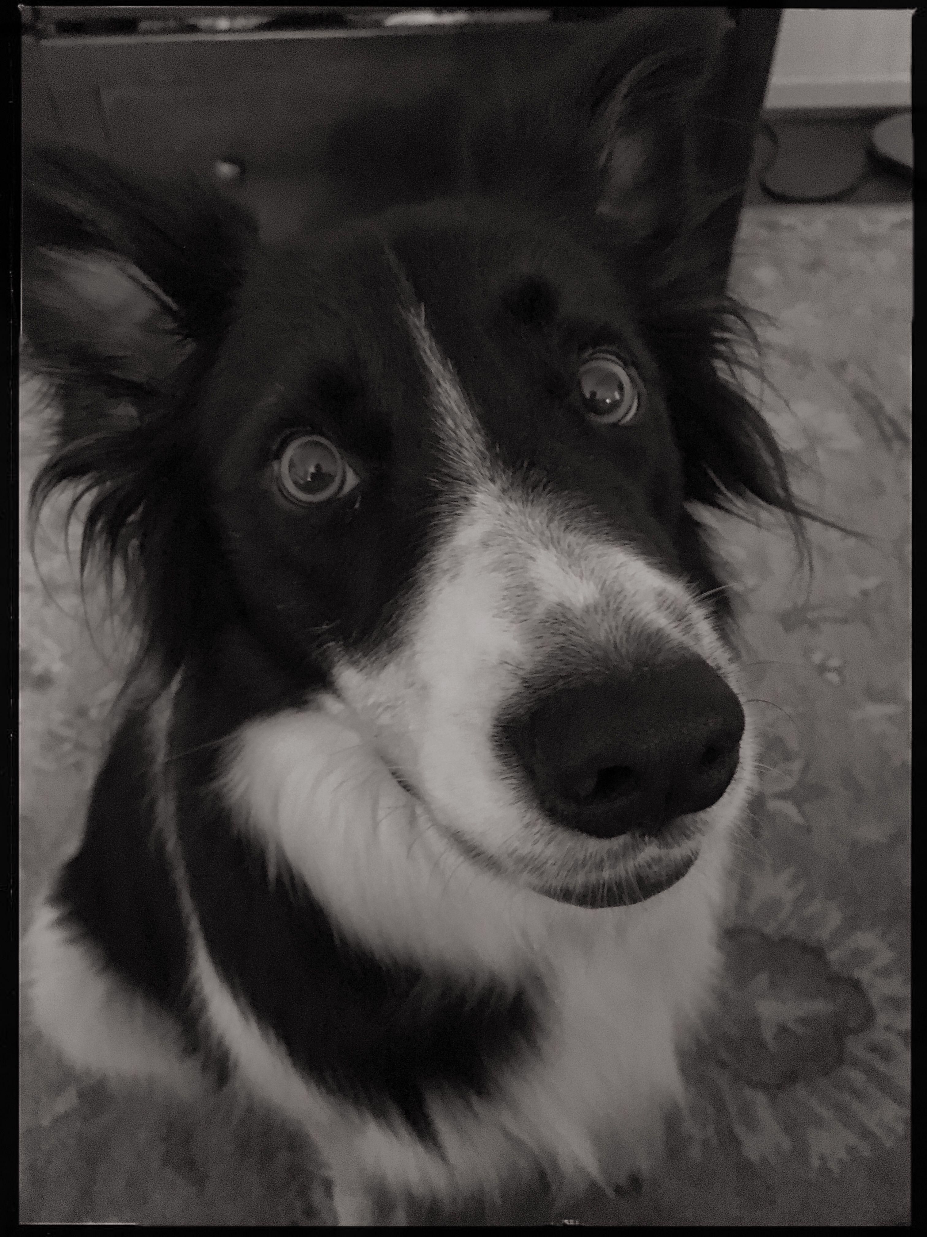 Pin By Michelle Wilson On Hawaii Border Collie Border Collie