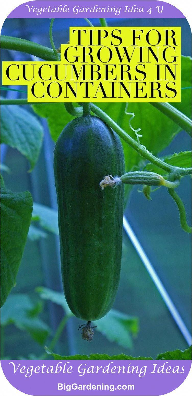 Find Out The Best Ways To Grow Cucumbers Successfully In 640 x 480