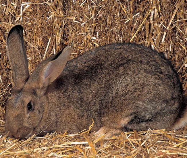 Flemish Giant rabbit. How to choose the rabbit breed that ...