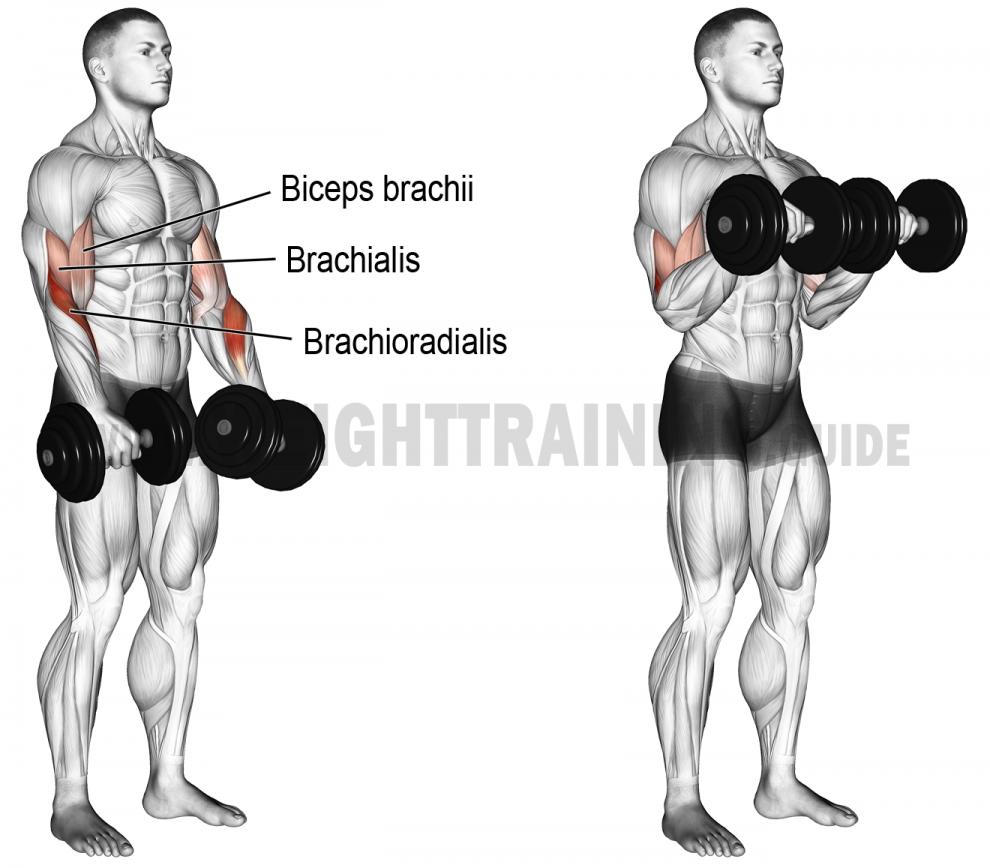 Comment Effectuer Le Curl Halteres Prise Pronation Musculation Biceps Musculation Musculation Bras