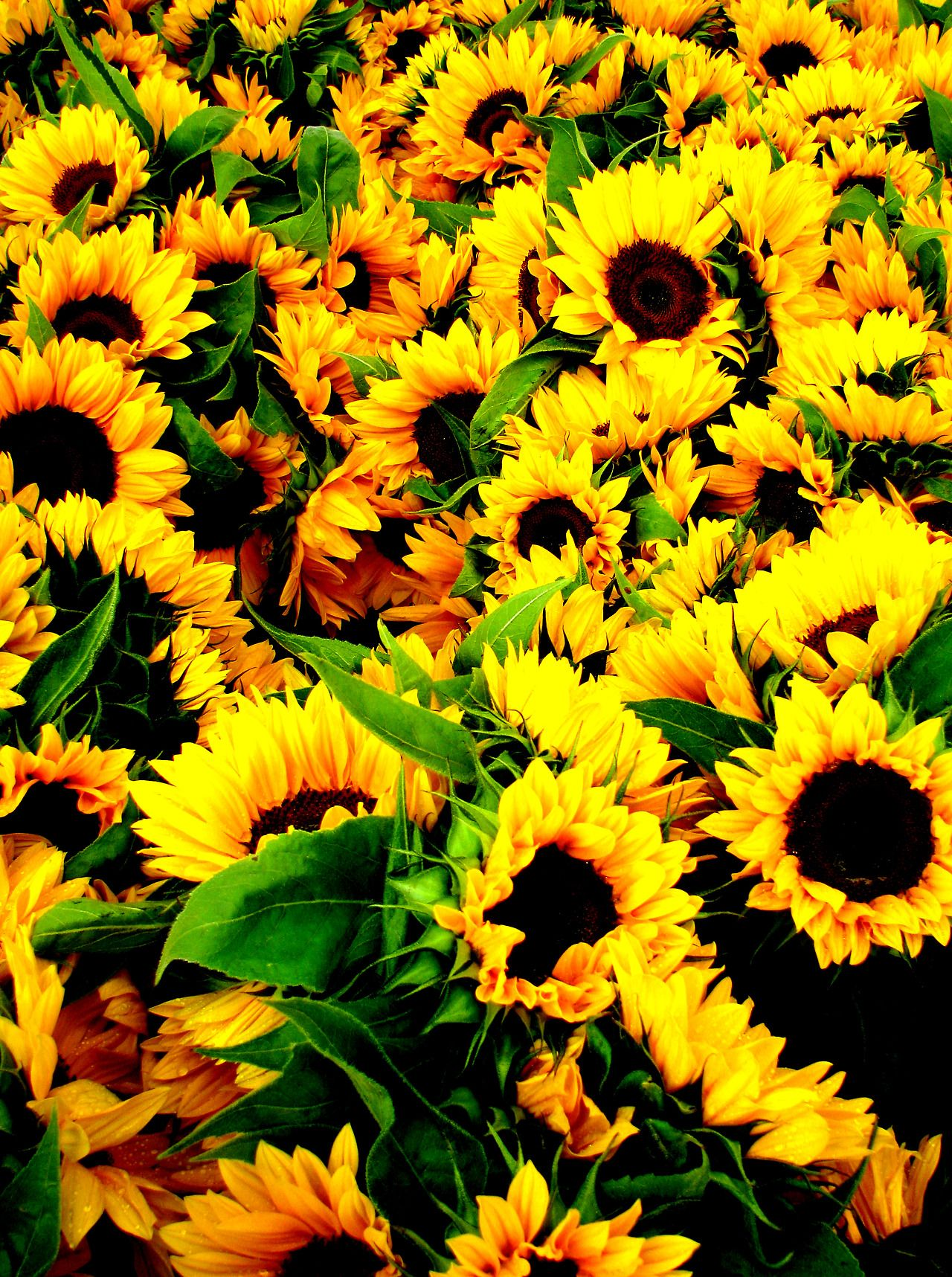 Sunflowers 🌻 🌻🌻 Sunflower wallpaper, Nature photography