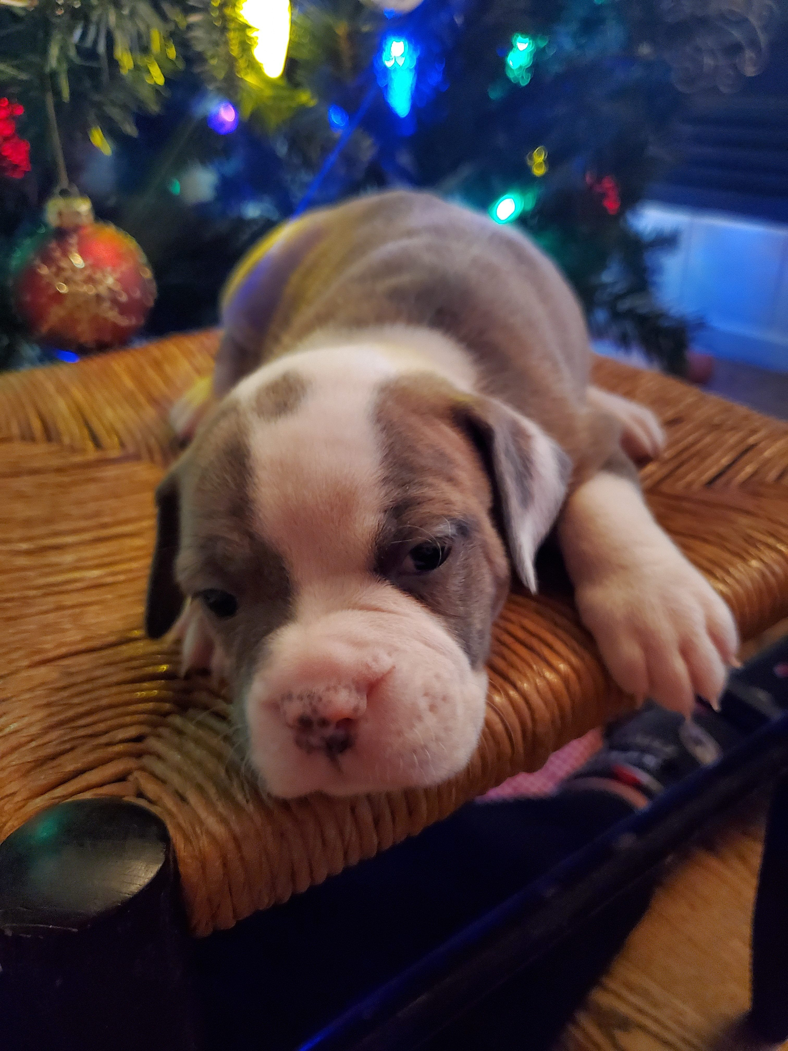 Breed Olde English Bulldogge Gender Female Registry Ioeba Personality Charismatic Date Available Dec 23 2019 Special Puppies Puppy Finder Puppies For Sale