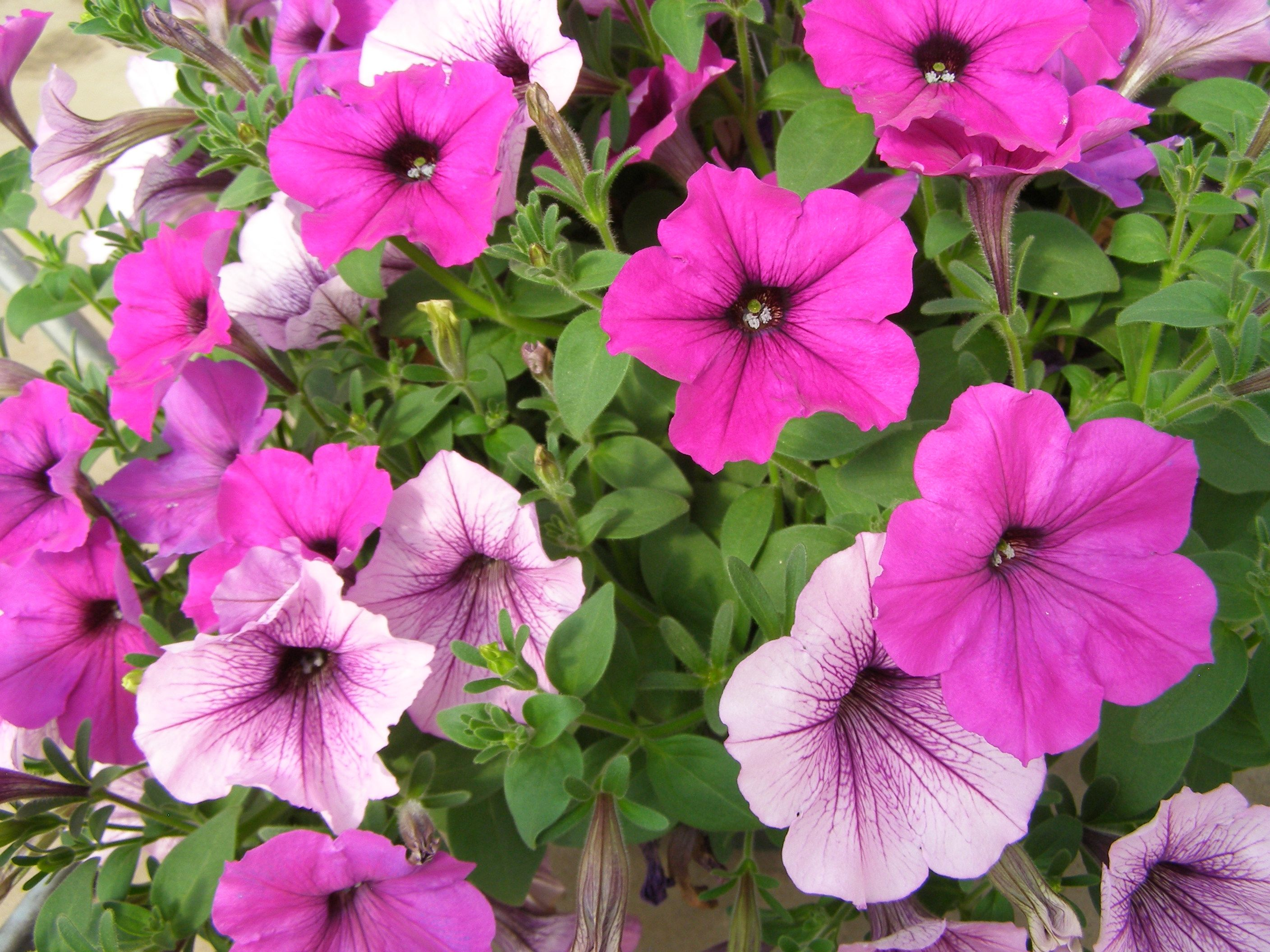 Tidal wave petunias google search spring planting 2015 for Low maintenance flowers outdoor