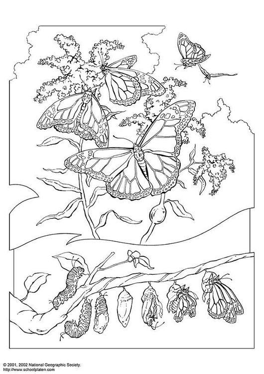 Malvorlage Königsschmetterling | coloring 3 | Pinterest | Bilder zum ...