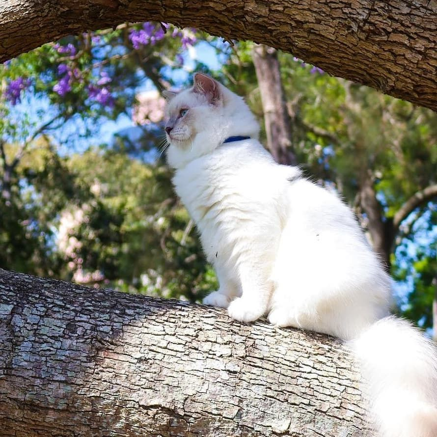 I'm a big adventure cat now 😻 Turned 8 mounth old and reached 5 kilogram 😺✨ @sushi.ragdoll 🌳 If you want to inspire others to take there cats outdoors on leashes, please tag your photos with #takeyourcatoutdoors or @takeyourcatoutdoors 💚 Enjoy this page and share inspiration to other cat lovers 😺 🌳 O U T D O O S 🌳 #takeyourcatoutdoors #urbancat #adventure #urbanadventure #swedishpets #sweden #swedishcats #cats #catsofinstagram #cats_of_instagram #catlifestyle #lifestyle #health #cathiking