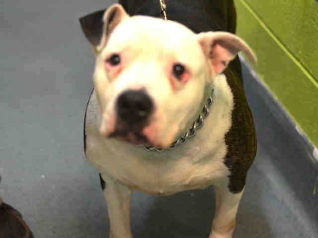 SUPER URGENT - 01/22/15 Brooklyn Center  VANILLA - A1026026  SPAYED FEMALE, BR BRINDLE / WHITE, STAFFORDSHIRE MIX, 8 yrs OWNER SUR - EVALUATE, NO HOLD Reason LLORDPRIVA   https://www.facebook.com/Urgentdeathrowdogs/photos/a.617942388218644.1073741870.152876678058553/948387715174108/?type=3&theater