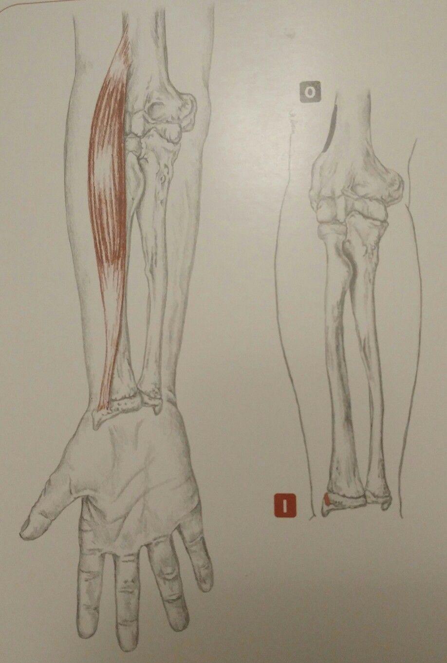 Brachioradialis - Actions - - Flex the elbow (humeroulnar jo ...