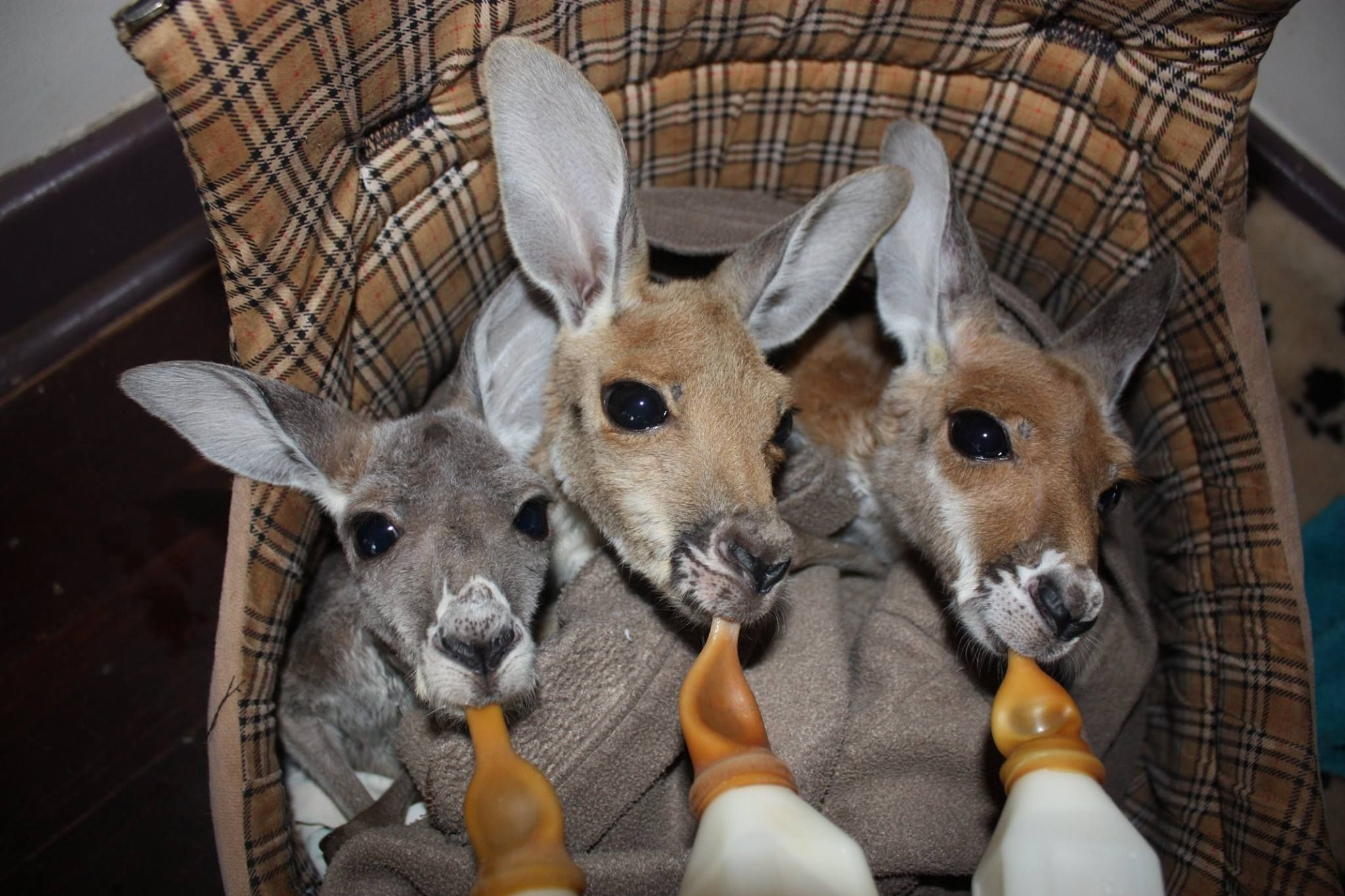 Baby Roos At The Kangaroo Sanctuary Alice Springs Thanks To - Kangaroo sanctuary alice springs