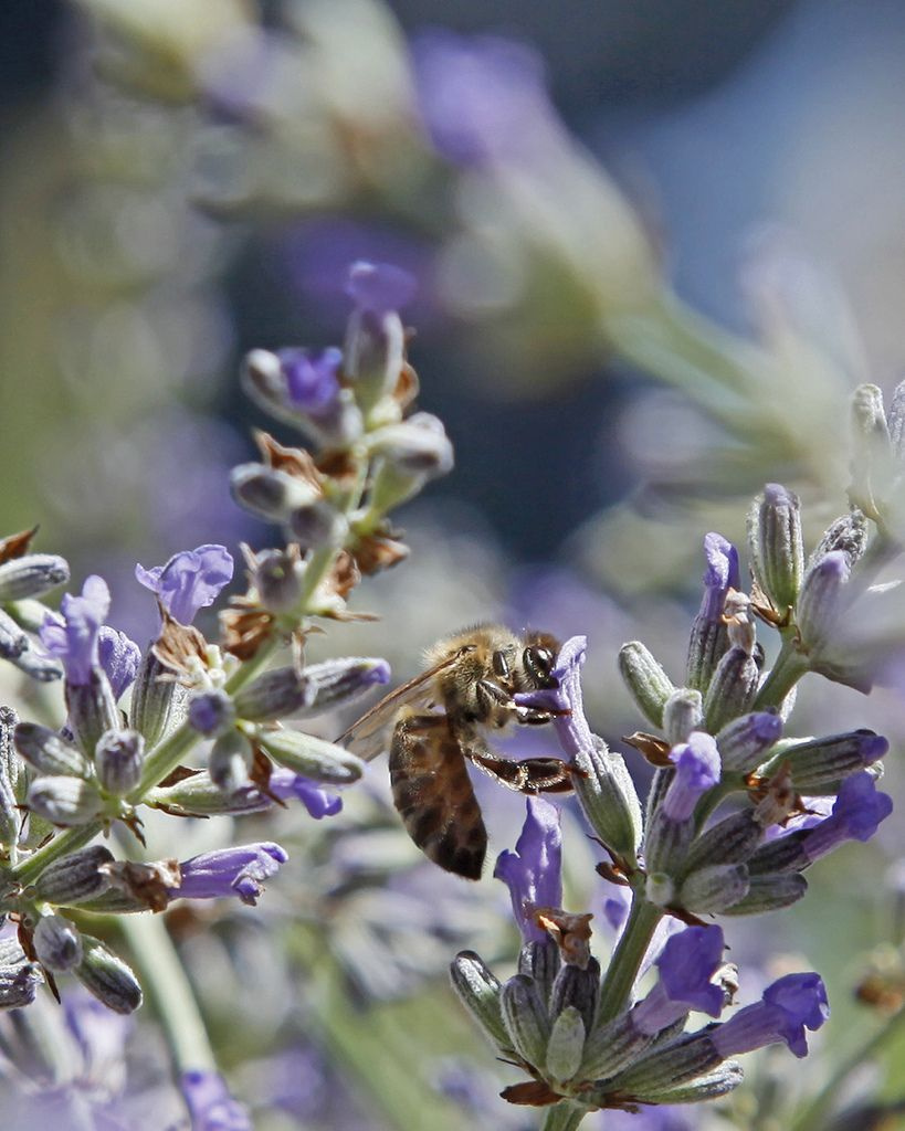 Ojai Valley Lavender Festival in 2019 | Travel - Ojai Valley