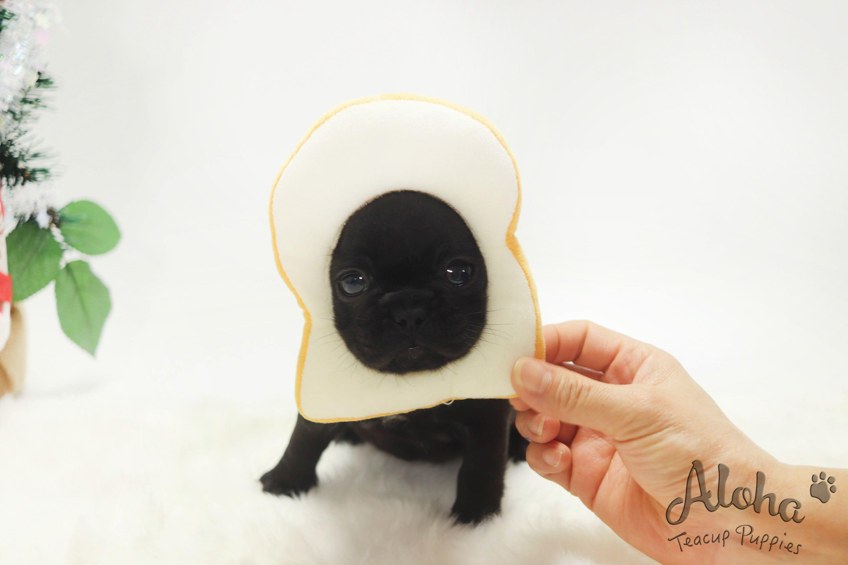 Mini Black French Bulldog Https Www Alohateacuppuppies Com